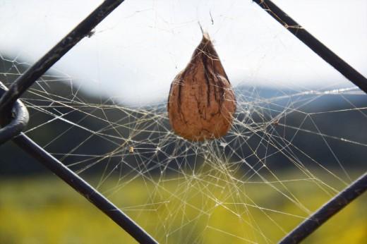ナガコガネグモの卵のう