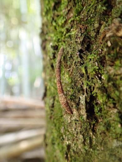 ヒモミノガの幼虫