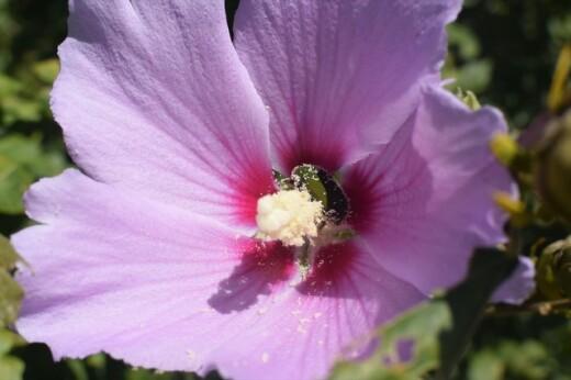 コアオハナムグリとムクゲの花