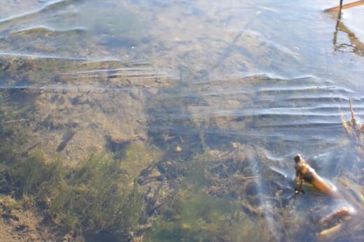 ニホンアカガエルのオタマジャクシ